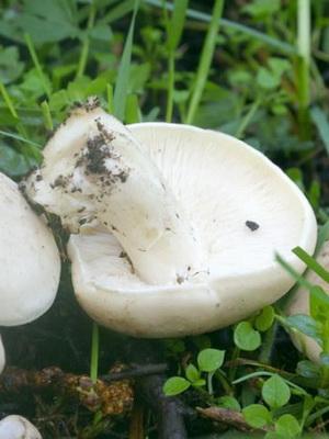 Майский гриб и фото сморщенного гриба
