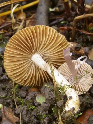 Ядовитый гриб волоконница (фото и описание)