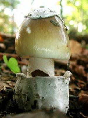 Описание и фото гриба бледная поганка: как выглядит и как отличить?