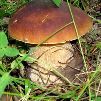 фото гриба боровик