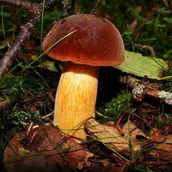 Дубовик: виды грибов - обыкновенный и крапчатый