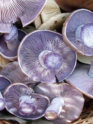 Рядовки и как выглядят съедобные грибы