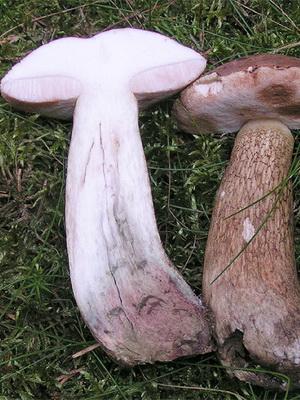 Желчный гриб (горчак) ядовитый или нет?