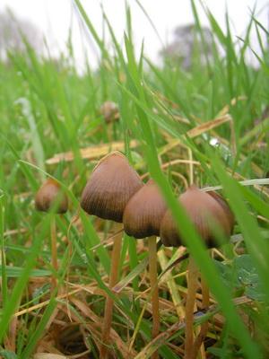 Псилоцибы полуланцетовидные: фото гриба и где его найти