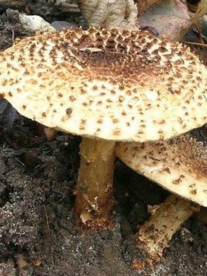 Лепиоты - ядовитые грибы