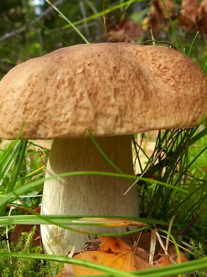 Белый гриб (березовый и сосновый)