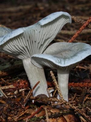 Говорушки: фото и описание съедобных грибов