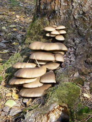 вот как растут вешенки в лесу фото и названия компактный, простой использовании