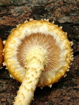 гриб чешуйчатка фото и описание