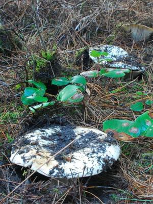 Сыроежки: виды грибов и фото