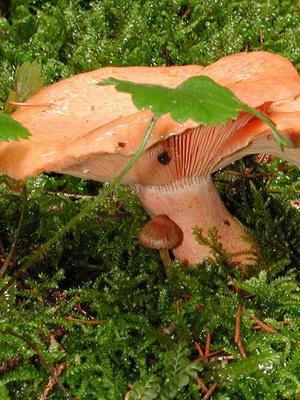 Рыжики - съедобные грибы: фото и описание
