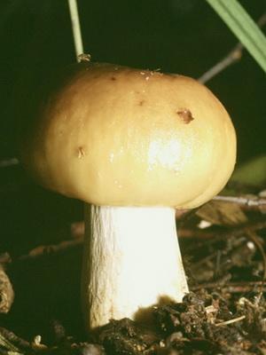 гриб валуй описание и фото
