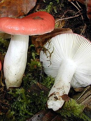 Сыроежки несъедобные: какие виды грибов не съедобные