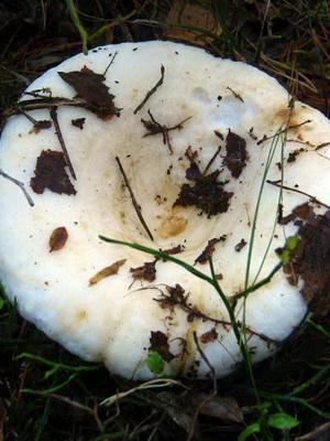 Грузди - съедобные грибы: фото и описание