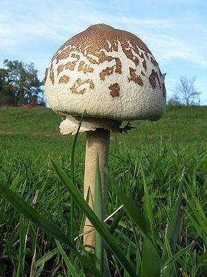 Съедобные грибы-зонтики: фото и описание