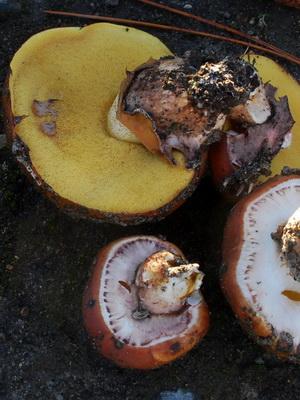 грибы маслята описание и фото
