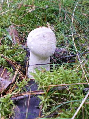 Шампиньоны - съедобные грибы: фото, описание видов
