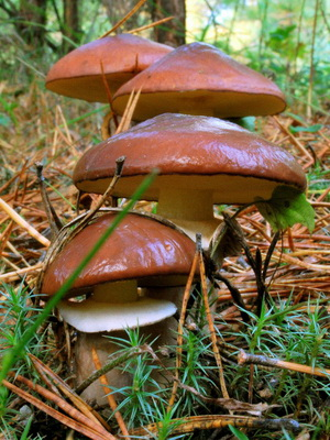 фото грибов маслята