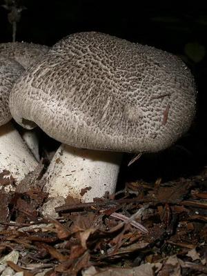 Ядовитые грибы рядовки - говорушки
