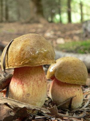 Как выглядит гриб поддубовик: фото и описание