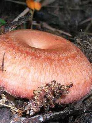 Фото и описание съедобных грибов волнушек