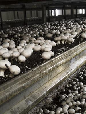 Выращивание шампиньонов в подвале и в промышленных масштабах