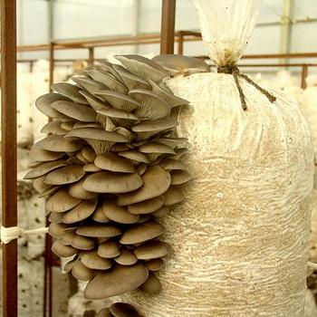 Разведение грибов вешенок: способы и технология выращивания